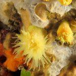 madrepora gialla leptopsammia 115 150x150 Leptopsammia pruvoti   Madrepora gialla leptopsammia