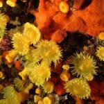 madrepora gialla leptopsammia 41 150x150 Leptopsammia pruvoti   Madrepora gialla leptopsammia