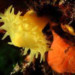 madrepora gialla leptopsammia 42 150x150 Leptopsammia pruvoti   Madrepora gialla leptopsammia
