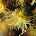 madrepora gialla leptopsammia 55 150x150 Leptopsammia pruvoti   Madrepora gialla leptopsammia