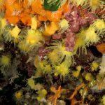 madrepora gialla leptopsammia 56 150x150 Leptopsammia pruvoti   Madrepora gialla leptopsammia