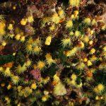 madrepora gialla leptopsammia 58 150x150 Leptopsammia pruvoti   Madrepora gialla leptopsammia