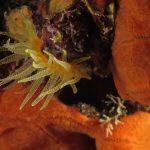 madrepora gialla leptopsammia 63 150x150 Leptopsammia pruvoti   Madrepora gialla leptopsammia