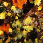 madrepora gialla leptopsammia 89 150x150 Leptopsammia pruvoti   Madrepora gialla leptopsammia