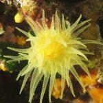 madrepora gialla leptopsammia 90 150x150 Leptopsammia pruvoti   Madrepora gialla leptopsammia