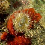 madrepora molare 84 150x150 Balanophillia europea   Madrepora molare