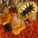 madrepora molare 86 150x150 Balanophillia europea   Madrepora molare
