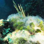 mammelloni verdi 17 150x150 Codium coralloides, Alga mammelloni verdi