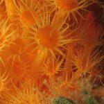 margherita di mare 115 150x150 Parazoanthus axinellae   Margherita di mare