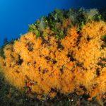 margherita di mare 121 150x150 Parazoanthus axinellae   Margherita di mare
