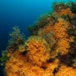 margherita di mare 126 150x150 Parazoanthus axinellae   Margherita di mare