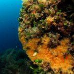 margherita di mare 127 150x150 Parazoanthus axinellae   Margherita di mare