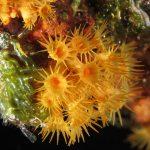 margherita di mare 55 150x150 Parazoanthus axinellae   Margherita di mare