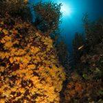 margherite di mare 100 150x150 Parazoanthus axinellae   Margherita di mare