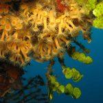 Parazoanthus axinellae - Margherita di mare