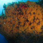 margherite di mare 120 150x150 Parazoanthus axinellae   Margherita di mare