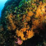 margherite di mare 121 150x150 Parazoanthus axinellae   Margherita di mare