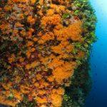 margherite di mare 131 150x150 Parazoanthus axinellae   Margherita di mare