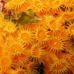 margherite di mare 19 150x150 Parazoanthus axinellae   Margherita di mare