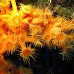 margherite di mare 25 150x150 Parazoanthus axinellae   Margherita di mare