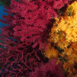 margherite di mare 68 150x150 Parazoanthus axinellae   Margherita di mare