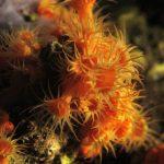 margherite di mare 83 150x150 Parazoanthus axinellae   Margherita di mare