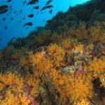 margherite di mare 95 150x150 Parazoanthus axinellae   Margherita di mare