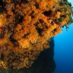 margherite di mare 99 150x150 Parazoanthus axinellae   Margherita di mare