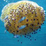 medusa cassiopea 11 150x150 Medusa cassiopea