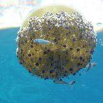 medusa cassiopea 12 150x150 Medusa cassiopea