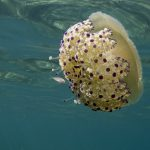 medusa cassiopea 55 150x150 Medusa cassiopea