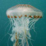 medusa crisaora 04 150x150 Medusa crisaora