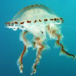 medusa crisaora 06 150x150 Medusa crisaora