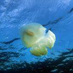 medusa filloriza 23 150x150 Medusa filloriza
