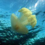 medusa filloriza 24 150x150 Medusa filloriza