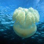 medusa filloriza 25 150x150 Medusa filloriza