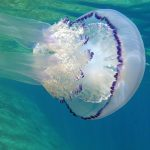medusa polmone dimare 26 150x150 Medusa polmone di mare