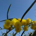 mimosa 01 150x150 Mimosa