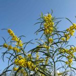 mimosa 02 150x150 Mimosa