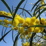 mimosa 03 150x150 Mimosa