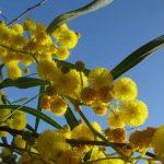 mimosa 05 150x150 Mimosa