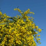 mimosa 06 150x150 Mimosa