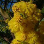 mimosa 10 150x150 Mimosa