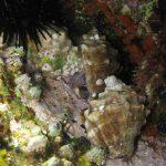 murice 11 150x150 Hexaplex trunculus   Murice