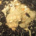 murice 23 150x150 Hexaplex trunculus   Murice