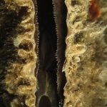 nacchera 73 150x150 Pinna nobilis   Nacchera