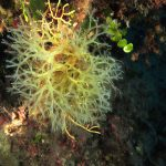 nastro a forcelle 35 150x150 Alga nastro a forcelle   Dictyota dicotoma
