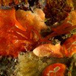 nemastoma 18 150x150 Nemastoma dumontoides   Alga nemastoma