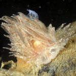 nudibranco di beaumonti 09 150x150 Cumanotus beaumonti, Nudibranco di beaumonti