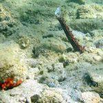 oloturia 02 150x150 Holoturia tubulosa   Oloturia cetriolo di mare
